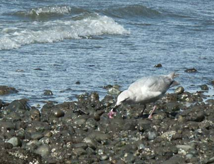 Gull snagging a little sea star